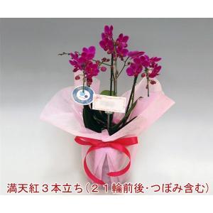 小さい胡蝶蘭3本立ち満天紅22リン前後 つぼみ含む お祝いの贈り物に 12%OFF つぼみ多めでの出荷となります。 heart-flower