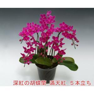 深紅の胡蝶蘭 ミディサイズ5本立ち35輪前後 つぼみ含む  満天紅 赤い胡蝶蘭 つぼみ多めでの出荷となります。|heart-flower
