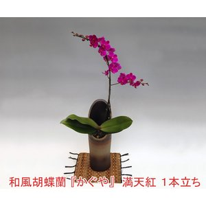 和風胡蝶蘭 満天紅ミディサイズ1本立ち 母の日のギフトに|heart-flower