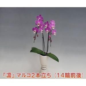 送料無料 洋蘭の鉄人が育てたミニ胡蝶蘭マルコ2本立ち14輪前後 つぼみ含む  凛ホワイト  つぼみ多めです。厚紙札木札はお付けできません|heart-flower