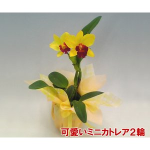 産地直送でお届け 蘭の女王カトレアのミニサイズ 珍しい色の洋ランです。 ミニカトレア|heart-flower