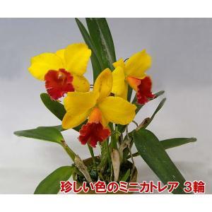 産地直送でお届け 蘭の女王カトレアのミニタイプ ミニカトレア3輪 母の日の贈り物に|heart-flower