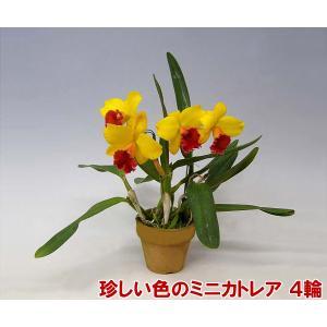 産地直送でお届け 蘭の女王カトレアのミニタイプ ミニカトレア4輪 母の日の贈り物に|heart-flower