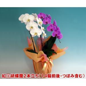 胡蝶蘭2本立ち14輪前後 つぼみ含む 産地直送 幸福が飛んでくる 縁起の良い紅白ミックス|heart-flower