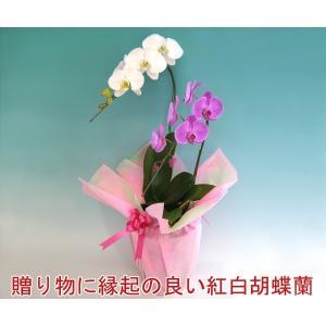 胡蝶蘭2本立ち14輪前後 つぼみ含む 産地直送 幸福が飛んでくる 縁起の良い紅白ミックス heart-flower 02