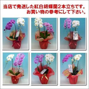 胡蝶蘭2本立ち14輪前後 つぼみ含む 産地直送 幸福が飛んでくる 縁起の良い紅白ミックス heart-flower 03
