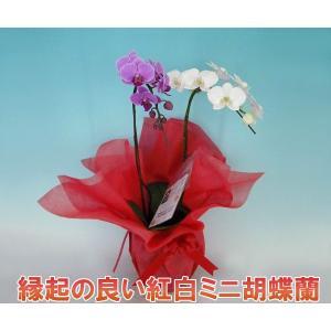 胡蝶蘭2本立ち ミニサイズ 14輪前後 つぼみ含む 送料無料 幸福が飛んでくる 縁起の良い紅白ミックス|heart-flower