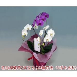 胡蝶蘭3本立ち 20輪前後 つぼみ含む 送料無料  幸福が飛んでくる 縁起の良い紅白ミックス|heart-flower
