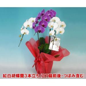 胡蝶蘭3本立ち27輪前後 つぼみ含む 就任祝いに 産地直送 幸福が飛んでくる 縁起の良い紅白ミックス|heart-flower
