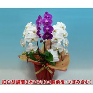 胡蝶蘭3本立ち30輪前後 つぼみ含む 縁起の良い紅白ミックス お祝いギフト|heart-flower