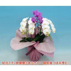 ミディ胡蝶蘭3本立ち21輪前後 つぼみ含む 送料無料 幸福が飛んでくる 縁起の良い紅白|heart-flower