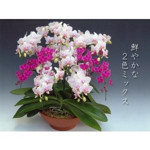 胡蝶蘭 2色ミックス 開店祝い開業祝に 送料無料普通の胡蝶蘭では物足りない方に|heart-flower