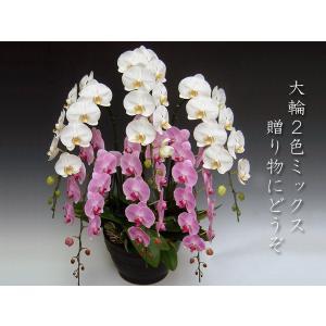豪華胡蝶蘭 大輪2色ミックス 6本立ち 送料無料 普通のお花では物足りない方に 開店祝い開業祝に|heart-flower
