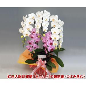 豪華胡蝶蘭 大輪2色ミックス 5本立ち50輪前後 つぼみ含む 送料無料ポイント10倍 20%OFF 普通の胡蝶蘭では物足りない方に。|heart-flower