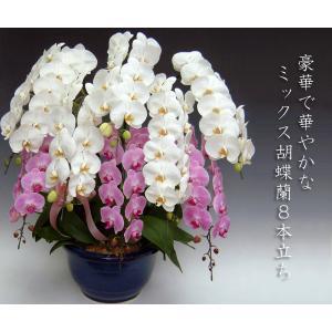 豪華胡蝶蘭 大輪2色ミックス 8本立ち 関東限定お届けとなります。普通の胡蝶蘭では物足りない方に 開店祝い開業祝に|heart-flower