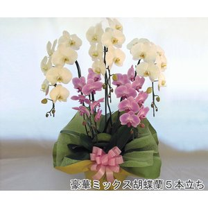 豪華胡蝶蘭 大輪2色紅白ミックス 5本立ち(45輪前後・つぼみ含む) 送料無料 開店祝い開業祝に|heart-flower