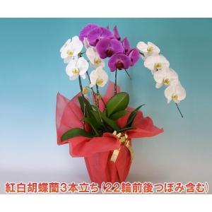 珍しい胡蝶蘭3本立ち 22輪前後 つぼみ含む  送料無料 幸福が飛んでくる 縁起の良い紅白ミックス 就任祝いに|heart-flower