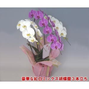 幸福が飛んでくる 縁起の良い紅白ミックス胡蝶蘭3本立ち 32輪前後 つぼみ含む 就任祝いに|heart-flower