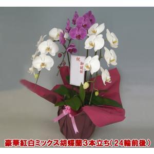胡蝶蘭3本立ち24輪前後 つぼみ含む 送料無料 幸福が飛んでくる 縁起の良い紅白ミックス お祝いの贈り物にオススメです。|heart-flower