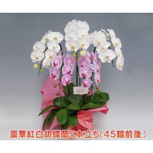胡蝶蘭5本立ち45リン前後つぼみ含む  紅白ミックス 送料無料 ビジネスギフトに大好評 セール価格|heart-flower