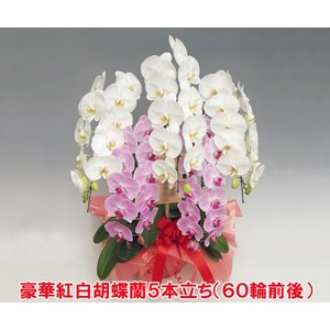 紅白ミックス胡蝶蘭5本立ち 60輪前後 つぼみ含む 送料無料ポイント10倍 16%OFF  洋蘭の鉄人が育てた洋ラン|heart-flower