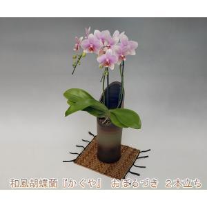 和風胡蝶蘭 おぼろづき2本立ち14輪前後 つぼみ含む  つぼみ多めでの出荷となります。 heart-flower