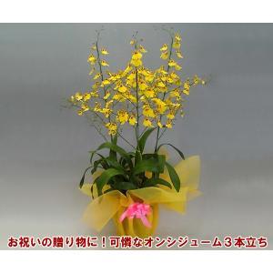 オンシジュームアロハイワナガ3本立ち 蘭初心者の方でも管理しやすいです。送料無料|heart-flower