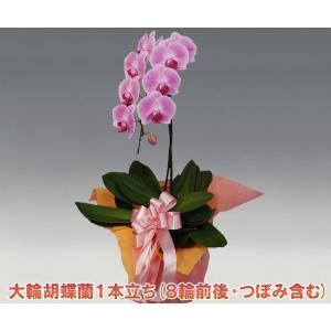 胡蝶蘭1本立ち8輪前後 つぼみ含む  ピンク 多年草のフラワーギフト|heart-flower