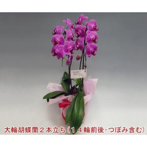 洋蘭の鉄人が育てた胡蝶蘭2本立ち14輪前後 つぼみ含む  ピンク バースデーイベントに|heart-flower