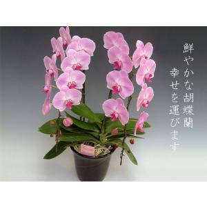 洋蘭の鉄人が育てた胡蝶蘭2本立ち20リン前後つぼみ含む  ピンク 結婚祝い出産祝いご自宅用に|heart-flower