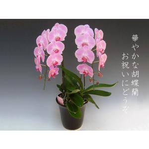 胡蝶蘭2本立ち 18リン前後つぼみ含む  ピンク 鉢花 フラワーギフト|heart-flower