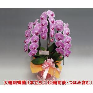 大輪胡蝶蘭3本立ち 30輪前後 つぼみ含む  ピンク ヤフーストアランキング入賞|heart-flower