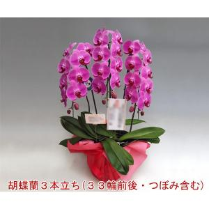 大輪胡蝶蘭3本立ち 33輪前後 つぼみ含む  ピンク ポイント10倍 贈答用に|heart-flower