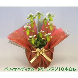 産地直送 珍しい洋蘭 『パフィオペディラム グリーンスジ』 10本立ち 珍しい蘭です|heart-flower