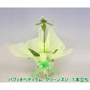 産地直送 珍しい洋蘭 『パフィオペディラム グリーンスジ』 1本立ち 普通の蘭に飽きた方へ|heart-flower