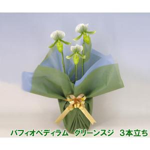 産地直送 珍しい洋蘭 『パフィオペディラム グリーンスジ』 3本立ち 珍種の洋蘭です|heart-flower
