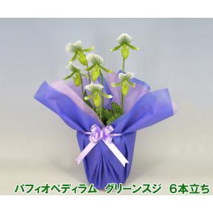 産地直送 珍しい洋蘭 『パフィオペディラム グリーンスジ』 6本立ち 珍しい蘭です|heart-flower