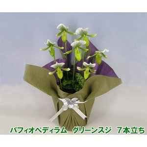 産地直送 珍しい洋蘭 『パフィオペディラム グリーンスジ』 7本立ち 珍しい蘭です|heart-flower