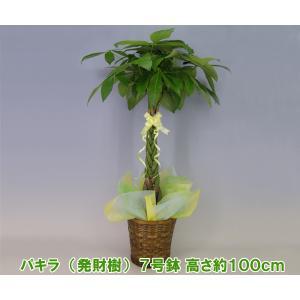 送料無料 観葉植物 発財樹 パキラ 7号鉢 高さ約100cm 開店祝い新築祝いにおすすめ|heart-flower