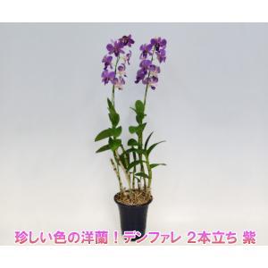 珍しい紫色の洋蘭 デンファレ 2本立ち 紫 花持ちの良い洋蘭です|heart-flower