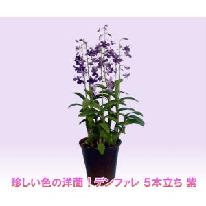 珍しい紫色の洋蘭 デンファレ 5本立ち 紫 花持ちの良い洋蘭です|heart-flower