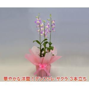華やかなデンファレ 3本立ち サクラ桜 花持ちの良い洋蘭です|heart-flower