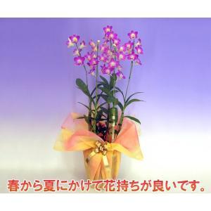 華やかなデンファレ 5本立ち サクラ桜 花持ちの良い洋蘭です|heart-flower