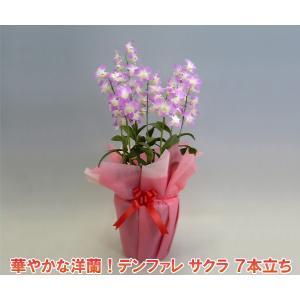 華やかなデンファレ 7本立ち サクラ桜 花持ちの良い洋蘭です|heart-flower