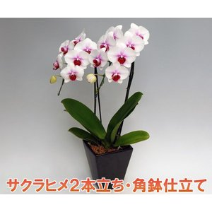 最高級の胡蝶蘭を産地直送でお届け  様々な賞を受賞している契約農園から産地直送でお届けします。  ...