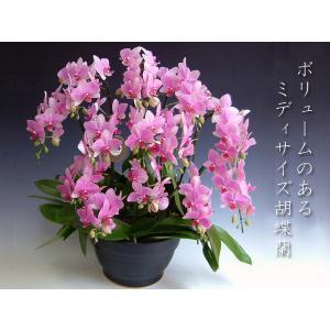 胡蝶蘭8本立ち ミディサイズ スーパーマーメイド  豪華洋蘭ギフト 送料無料|heart-flower