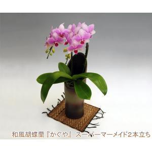 和風胡蝶蘭 スーパーマーメイド2本立ち14輪前後 つぼみ含む  つぼみ多めでの出荷となります。 heart-flower