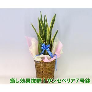 送料無料 ミニ観葉植物 マイナスイオンが出ます。テレビ番組で話題になった癒し効果抜群のサンセベリア トラノオ 7号鉢|heart-flower