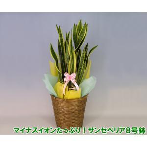 送料無料 ミディ観葉植物 マイナスイオンが出ます。テレビ番組で話題になった癒し効果抜群のサンセベリア トラノオ 8号鉢 heart-flower