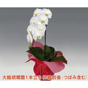 胡蝶蘭1本立ち8輪前後 つぼみ含む  ホワイト 多年草の鉢花|heart-flower